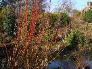 Salix alba Britzensis