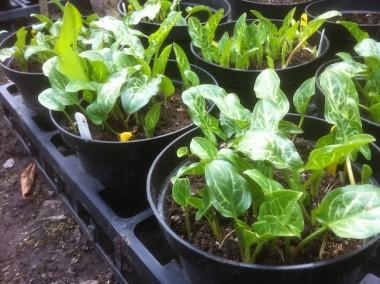 Arum seedlings at Plantsmans Corner