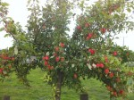 A Brief History of the Victoria Plum