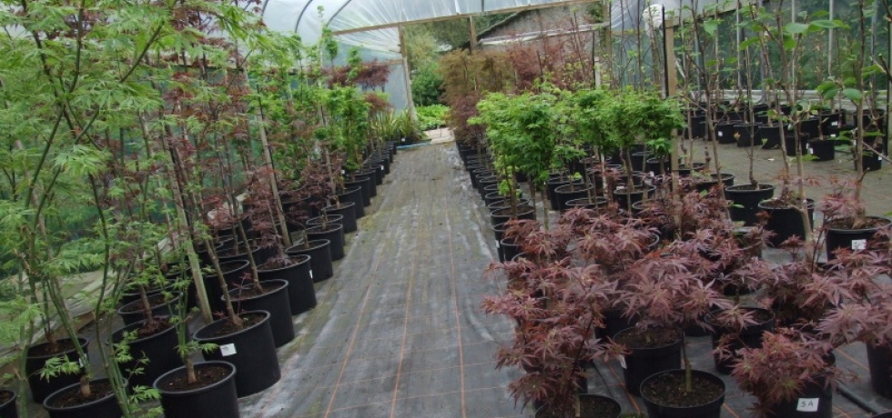Japanese maples growing on