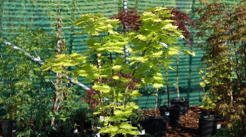 Acer shirasawanum Aureum...The Full Moon Maple