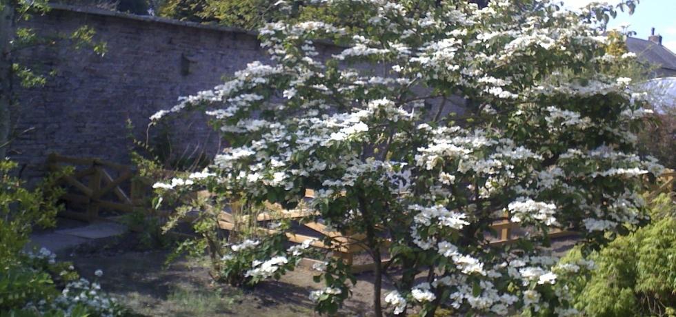 Viburnum plicatum by stream and bee hives