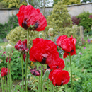 Papaver orientalis; Beauty of Livermere