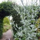 Onopordum acanthium; Scotch Thistle...& Finn