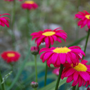Tanacetum 'Robinsons Red'....previously Pyrethrum.