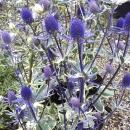 Eryngium x tripartitum Jade Frost