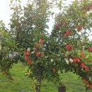 Crab Apple...Vieches Scarlet