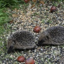 Two young hedgehogs...each the size on a computer mouse
