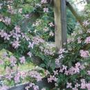 Clematis montana Broughton Star