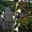 Gladiolus tristis & Cornus Satomi