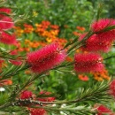 Callistemon Crimson Tail