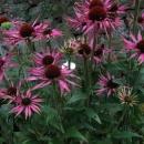Echinacea Barningham Hybrid