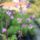 Thalictrum rochebrunianum flower