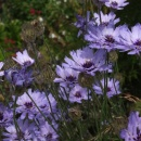 Catananche caeruleum