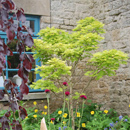 Acer shirasawanum Aureum...Previously  'Acer japonicum'
