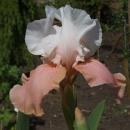 Iris Sugar Magnolia