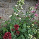 Centranthus or 'Setwall'