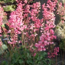 Heuchera 'Rosemary Bloom' in flower