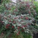 Sorbus villmorinii