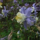 Aquilegia 'Blue Star'